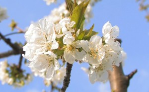 The Cherry Flowers of Vignola