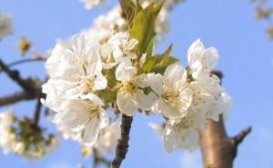 The Cherry Flowers of Vignola