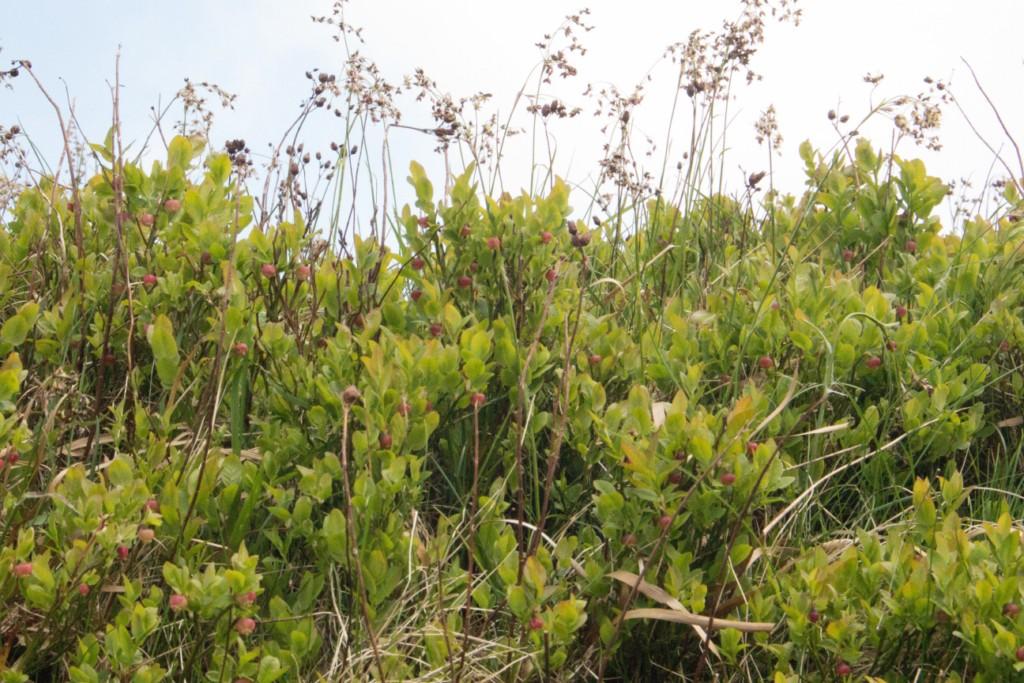 Bilberry plants