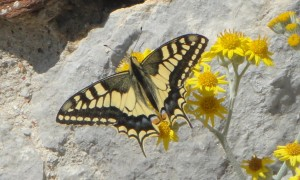 """Macaone, the """"Leopard butterfly"""""""