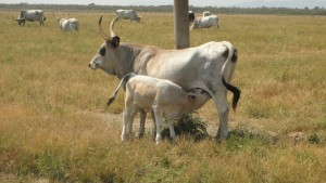Wild cows in the Park