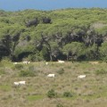 Wild cows in the Maremma Park