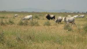 Cows and bull in the Park