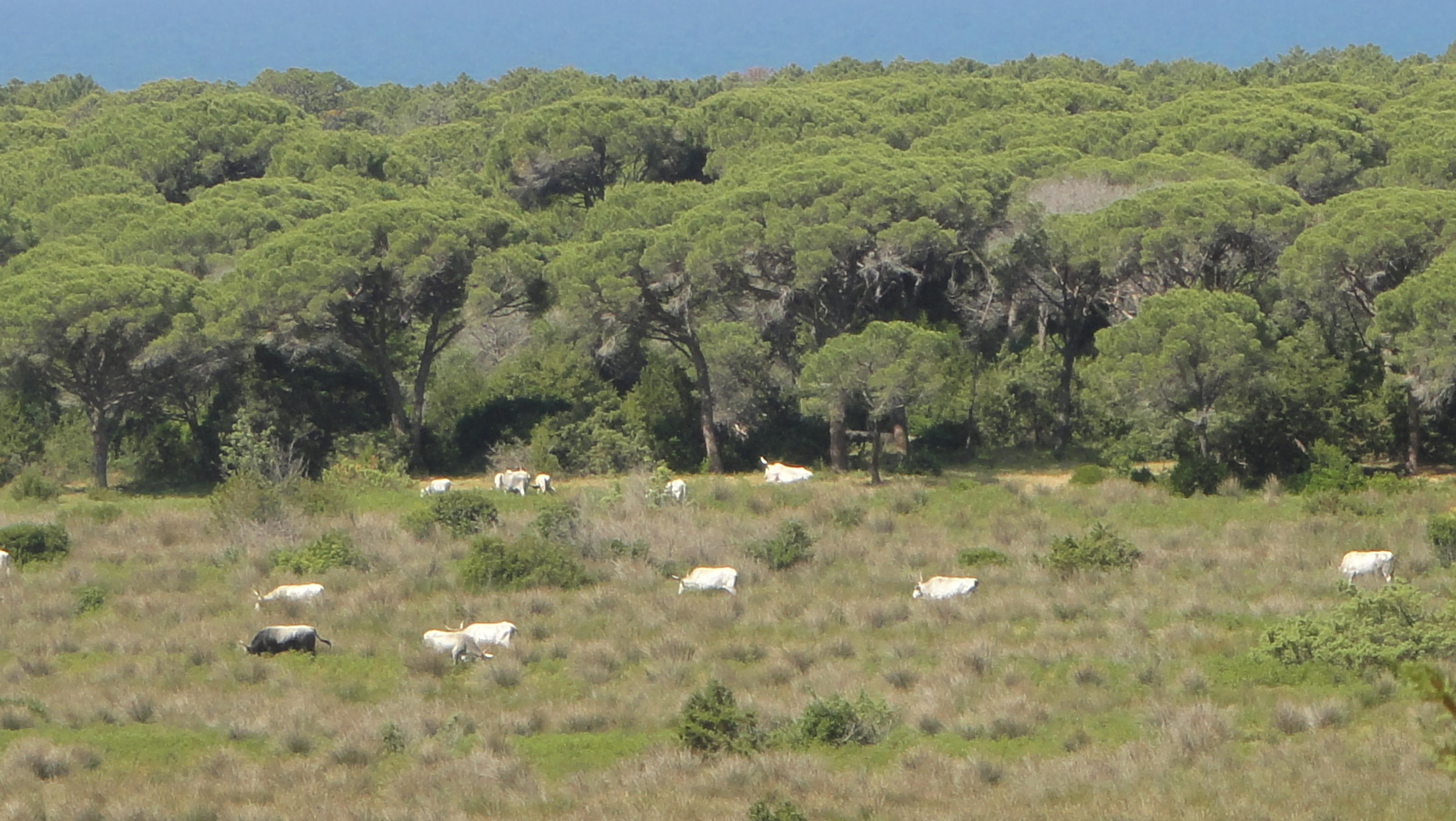 Wild cows in the Maremma Park