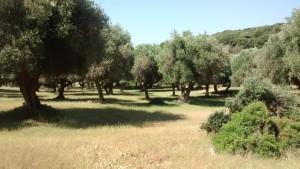 Maremma Park, Olive grove