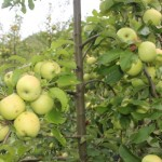 Apples from Molise