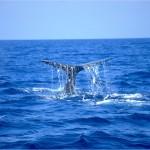 Cetacean Sanctuary, pic by Guido Mojoli