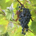 The vineyard of Rovescala, Oltrepò Pavese