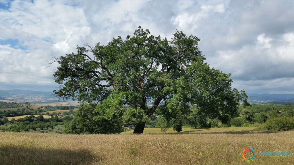 An oak in Maremma