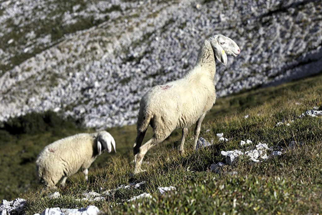 Sheep from Alpago (Pic by Flickr User iv78x)