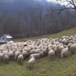 Sheeps, in Alpago