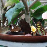 Butterflies at Villa Garzoni, Collodi