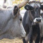 Cows - FICO Eataly World