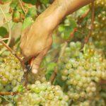 Gorgona, Working in the vineyard