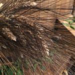 Senatore Cappelli wheat variety