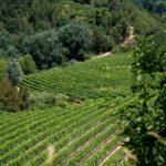 Usigliano, vineyards