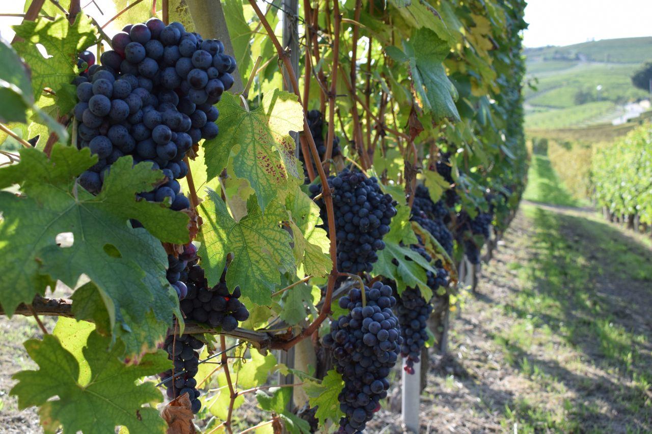 Inside the Nebbiolo Vineyards