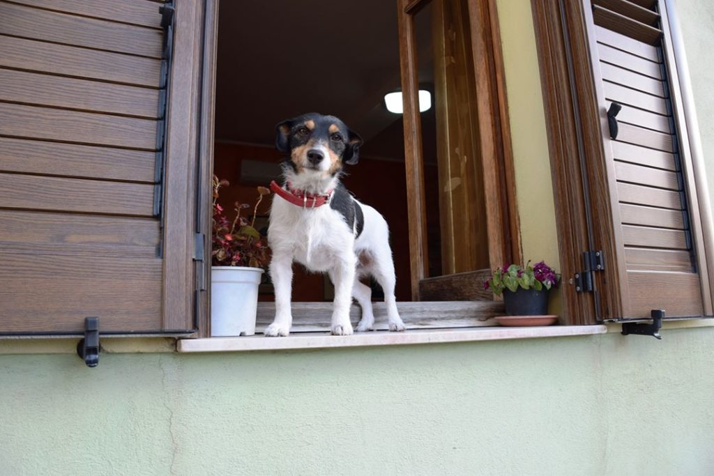 Samugheo, a curious and friendly dog in a window!