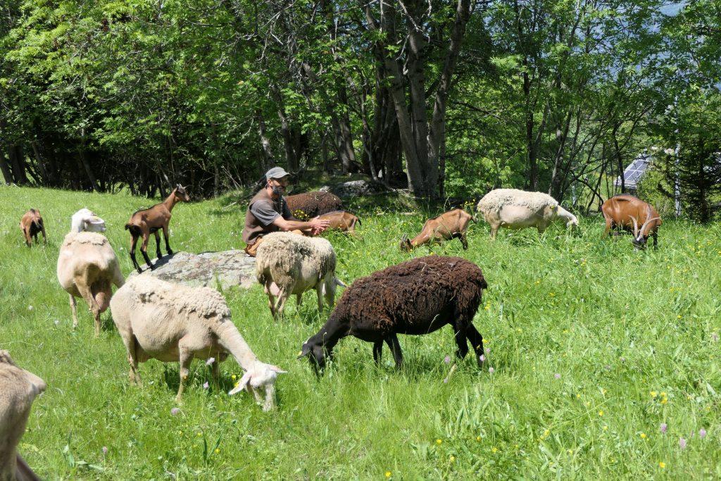 Aosta Valley: Grazing